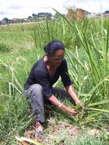 2erana_harvest_perline